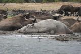 Hippopotamus and Buffalo  Queen Elizabeth National Park  Uganda  Africa