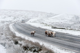 Sheep in a Wintry Landscape on the Mynydd Epynt Moorland  Powys  Wales  United Kingdom  Europe