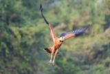Black-Collared Hawk (Busarellus Nigricollis) in Flight  Pantanal  Mato Grosso  Brazil