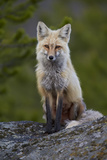 Red Fox (Vulpes Vulpes or Vulpes Fulva)  Yellowstone National Park  Wyoming  USA