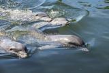 Bottlenose Dolphins  Tursiops Tursiops  Grassy Key  Florida  United States of America