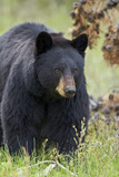 Black Bear (Ursus Americanus)  Yellowstone National Park  Wyoming  United States of America