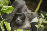 Mountain Gorilla  Bwindi Impenetrable National Park  Uganda  Africa