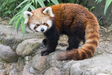Red Panda (Ailurus Fulgens)  Sichuan Province  China  Asia