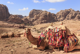 Portrait of Seated Camel with Colourful Rugs  Middle East