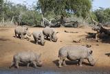 White Rhino (Ceratotherium Simum)  Kumasinga Water Hole  Mkhuze Game Reserve  Kwazulu-Natal  Africa