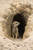 Young Yellow Mongoose (Cynictis Penicillata) at Burrow  Northern Cape  Africa