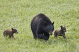 Black Bear (Ursus Americanus) Sow and Two Chocolate Cubs of the Year or Spring Cubs  Wyoming