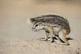 Ground Squirrel (Xerus Inauris) Young  Kgalagadi Transfrontier Park  Northern Cape  South Africa