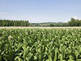 Tobacco Farm  France  Europe