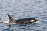 An Adult Killer Whale (Orcinus Orca) Surfacing in Glacier Bay National Park  Southeast Alaska