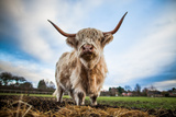 Highland Cattle (Bos Taurus)  Gloucestershire  England  United Kingdom  Europe