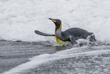 Adult King Penguin (Aptenodytes Patagonicus) Returning from Sea at St Andrews Bay  Polar Regions
