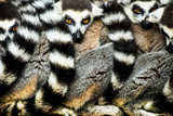 Lemurs (Lemuroidea)  Cotswold Safari Park  Oxfordshire  England  United Kingdom  Europe