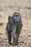 Chacma Baboon (Papio Ursinus)  Kruger National Park  South Africa  Africa
