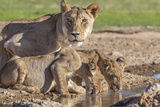 Lioness with Cubs (Panthera Leo) at Water  Kgalagadi Transfrontier Park  Northern Cape  Africa