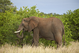 African Elephant (Loxodonta Africana) Eating  Kruger National Park  South Africa  Africa
