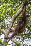 Reintroduced Mother and Infant Orangutan in Tree in Tanjung Puting National Park  Indonesia