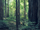Giant Redwood (Sequioa) Trees in Redwood National Park  Northern California  USA