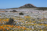 Spring Wild Flowers  Postberg Section  West Coast National Park  Western Cape  South Africa  Africa