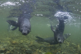 Curious Antarctica Fur Seal Pups (Arctocephalus Gazella)  Polar Regions