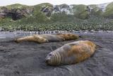 Southern Elephant Seal Bulls (Mirounga Leonina)  Polar Regions