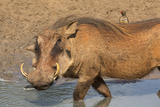 Warthog (Phacochoerus Aethiopicus)  Kwazulu-Natal  Africa