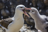 Adult Black-Browed Albatross Feeding Chick in New Island Nature Reserve  Falkland Islands