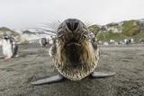 A Curious Young Antarctic Fur Seal (Arctocephalus Gazella)  South Georgia  Polar Regions