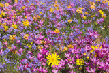 Spring Wildflowers  Papkuilsfontein Farm  Nieuwoudtville  Northern Cape  South Africa  Africa