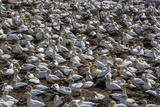 Cape Gannet (Morus Capensis)  Breeding Colony  Lambert's Bay  South Africa  Africa