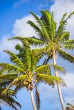 Palm Tree  Muri  Rarotonga  Cook Islands  South Pacific  Pacific