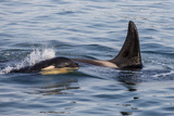 A Calf and Adult Killer Whale (Orcinus Orca) in Glacier Bay National Park  Southeast Alaska