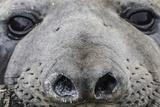 Southern Elephant Seal Bull (Mirounga Leonina)  Polar Regions