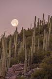 Giant Saguaro Cactus (Carnegiea Gigantea)  Tucson  Arizona