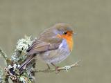 Robin (Erithacus Rubecula)  Lake District  Cumbria  England  United Kingdom  Europe