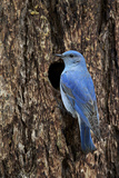Mountain Bluebird (Sialia Currucoides)  Male at Nest Cavity  Yellowstone National Park  Wyoming