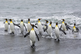 Adult King Penguins (Aptenodytes Patagonicus) Returning from Sea at St Andrews Bay  Polar Regions