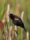 Red-Winged Blackbird (Agelaius Phoeniceus)  Lac Le Jeune Provincial Park  British Columbia