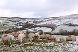 Sheep Feed on High Moorland in a Wintry Landscape in Powys  Wales  United Kingdom  Europe