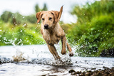 Labrador in Water  Oxfordshire  England  United Kingdom  Europe