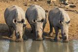 White Rhinos (Ceratotherium Simum) Drinking  Mkhuze Game Reserve  Kwazulu-Natal