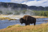 American Bison (Bison Bison)  Little Firehole River  Yellowstone National Park  Wyoming  USA