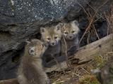 Red Fox (Vulpes Vulpes or Vulpes Fulva) Kits  Yellowstone National Park  Wyoming  USA