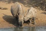 White Rhino (Ceratotherium Simum) with Calf  Mkhuze Game Reserve  Kwazulu-Natal
