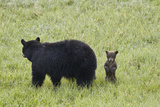 Black Bear (Ursus Americanus) Sow and a Chocolate Cub of the Year or Spring Cub  Wyoming