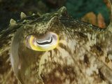 Close-Up of a Cuttlefish Eye  Manado  Indonesia