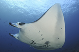 A Reef Manta Ray Swimming in Komodo National Park  Indonesia