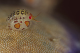 Close-Up View of a Ladybug Amphipod  Cyproidea Species