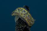 Chromodoris Kuniei Nudibranch  Beqa Lagoon  Fiji